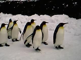 ペンギンのお散歩�B